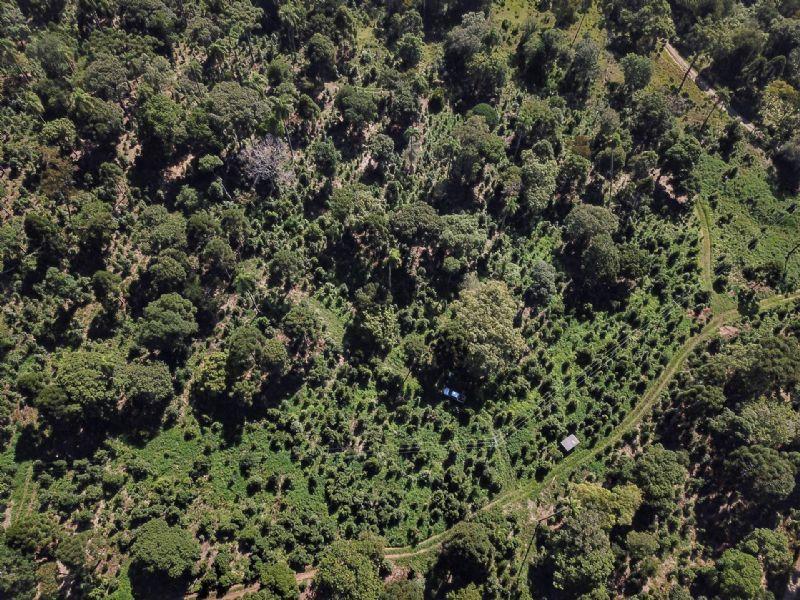 Bituruna, Inácio Martins e Pinhão estão entre os 10 maiores produtores de erva-mate do Paraná