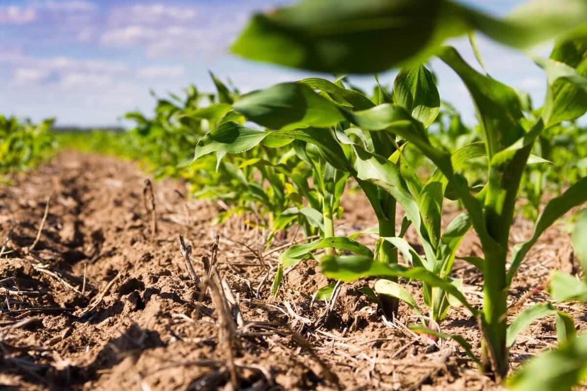 Estiagem e atraso no plantio do milho reduzem estimativa de safra de grãos no Paraná, diz Deral